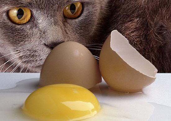 Feed my cat a raw egg yolk feline nutrition foundation all the raw diet recipes for cats i see contain raw egg yolks what do egg yolks contribute to a cats diet my cat loves to eat them is it all right forumfinder Image collections