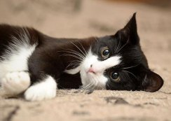 Cat Scratch Fever: How It Affects Cats