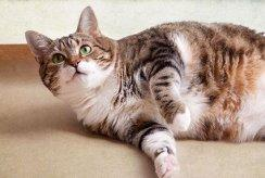 Slimming Your Cat: What Works, What Doesn't