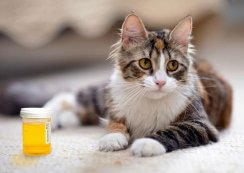 Answers: What Dry Food Does to Your Cat's Pee