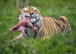 There's No Kibble Served at the Big Cat Rescue